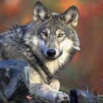 Волк и человек братья Гримм сказка с картинкой читайте текст полностью