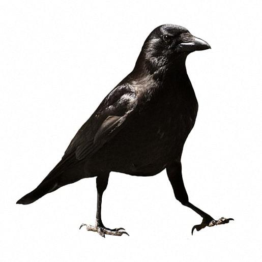 Ворона сказка братьев Гримм читаем детям онлайн с картинкой
